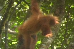 Baby Orangutan 2 Stock Footage