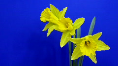 Stock Video Footage of Time-lapse of yellow narcissus flowers opening 1
