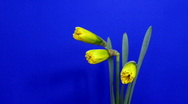 Time-lapse of yellow narcissus flowers opening 1 Stock Footage