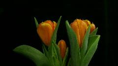Time-lapse of opening orange tulips 1 Stock Footage