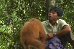Ranger feeding orangutans Stock Footage