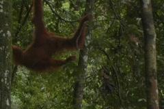 Orangutan 15 - stock footage