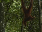 Stock Video Footage of Orangutan 15