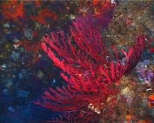 Red Gorgonia (C143) Stock Footage