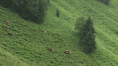 Typica Austrian cows are on the meadow Stock Footage