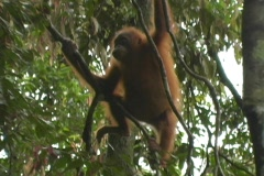 Child orangutan climbs in trees - stock footage