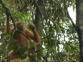 Child orangutan climbs in trees Stock Footage