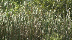 Sawgrass - stock footage