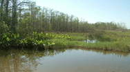 Big cypress forest Stock Footage