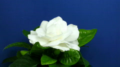 Time-lapse of gardenia flower opening 1 Stock Footage