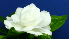 Time-lapse of gardenia flower opening 2 Stock Footage