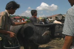 Man washes his prized buffalo for sale Stock Footage