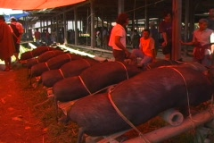 Line of pigs tied for sale - stock footage