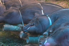 Close up pigs tied down Stock Footage
