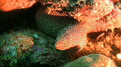 Starry moray, Gymnothorax nudivomer on a coral reef in the Philippines Stock Footage