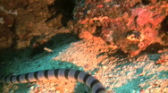 Stock Video Footage of Banded sea snake (Laticauda colubrina)