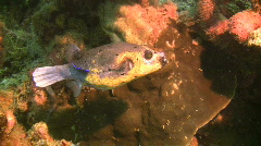 Blackspotted puffer, Arothron nigropunctatus on a reef in the Philippines Stock Footage