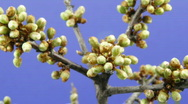 Stock Video Footage of timelapse of blossoming close