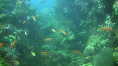Colorful Anthias reef fish on a coral reef in the Philippines Stock Footage