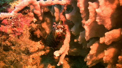 Peacock Mantis shrimp, Odontodactylus scyllarus on a reef in the Philippines Stock Footage