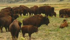 American buffalo graze on Colorado ranch Stock Footage