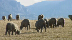 Sheep graze on mountain hilltop Stock Footage