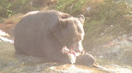Black bear eats salmon 3 Stock Footage