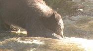 Black bear eats salmon 4 Stock Footage