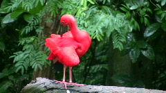 Scarlet Ibis (HD) Stock Footage