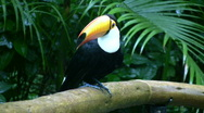 Toucan (HD Video) Stock Footage