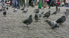 Pigeons dominate the square - stock footage
