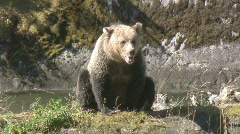 A grizzly bear cub sniffs the air. Stock Footage