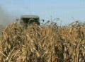 Combine Harvesting Corn 05 Footage