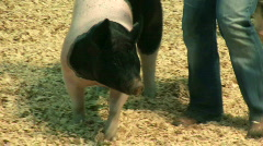 Pig show Stock Footage