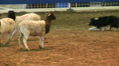 sheep herding dog - stock footage