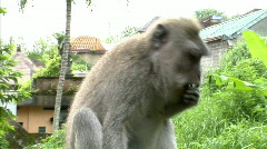 Wild monkey eating Stock Footage