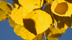 Golden aspen leaves quaking in the breeze Stock Footage