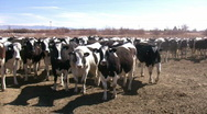 Stock Video Footage of HDV: Holstein Dairy Cows
