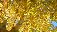 Autumn aspen tree up-shot Stock Footage
