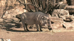 Wart Hog eating HD Stock Footage
