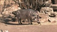 Wart Hog eating HD Stock Footage