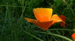 Hawaiian Style Orange Flower- CU- Blowing Wind - stock footage