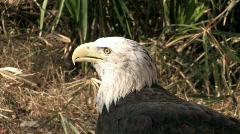 Bald Eagle head close HD Stock Footage
