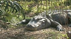 Alligator laying HD - stock footage