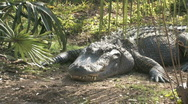 Alligator laying HD Stock Footage