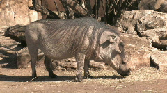 Wart hog kneeling eating HD Stock Footage