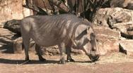 Wart hog kneeling eating HD Stock Footage
