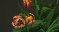Red and yellow tulips Stock Footage