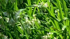 Long Wild Grass Blowing in the wind - stock footage