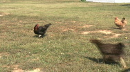 Stock Video Footage of HDV: Chickens Feeding